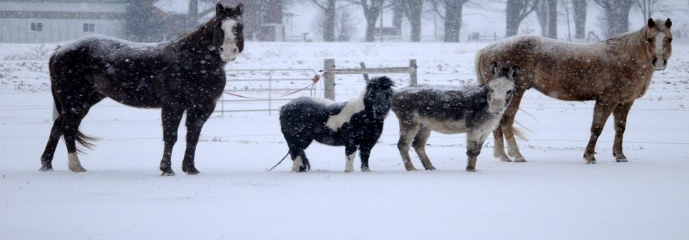 Two large horses and two miniature horses standing in a field on a snowy day