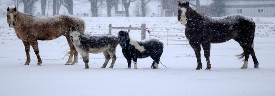 two large and two miniature horses standing in a snowy field
