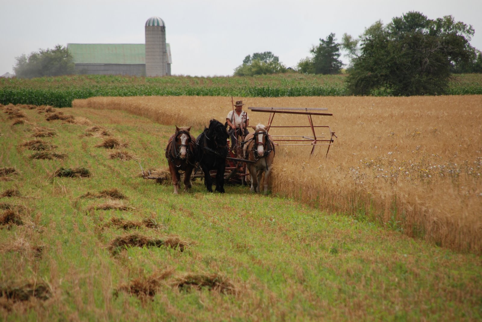 amish working in field